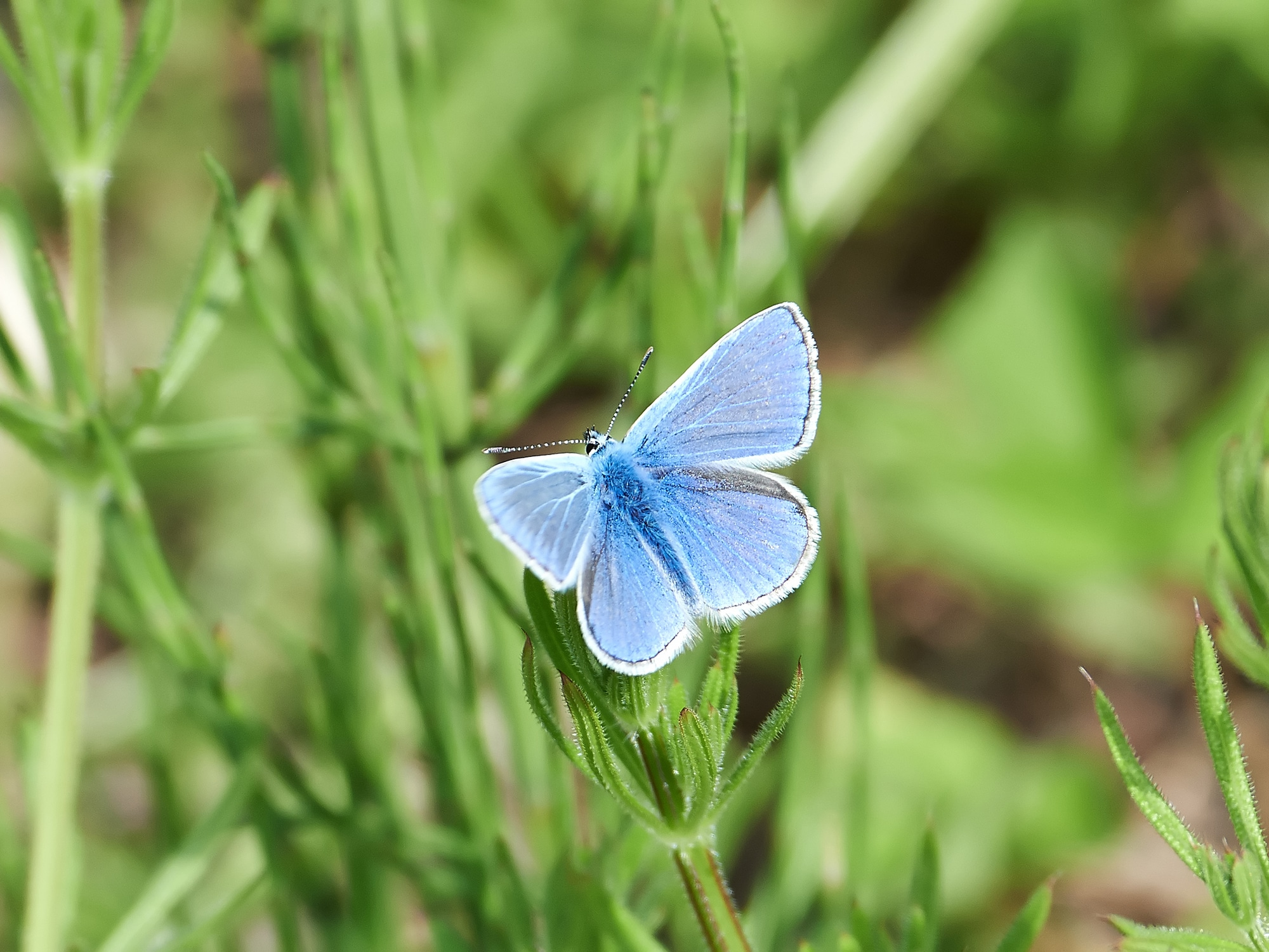 Common blue resting on a green plant