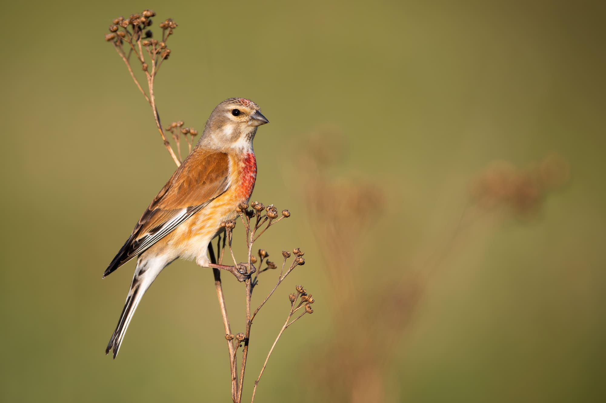Male common linnet, linaria cannabina, resting on a plant on meadow in summer at sunset from side view with copy space.