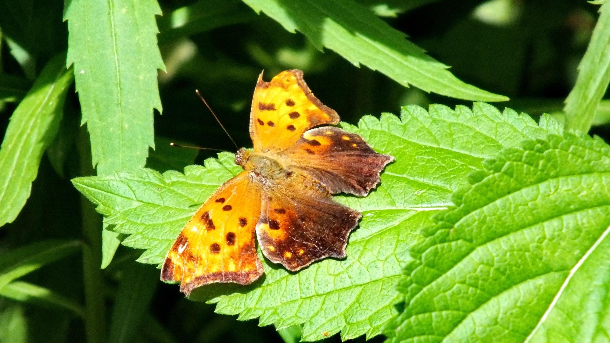 Eastern Comma Butterfly in the wild in Toronto