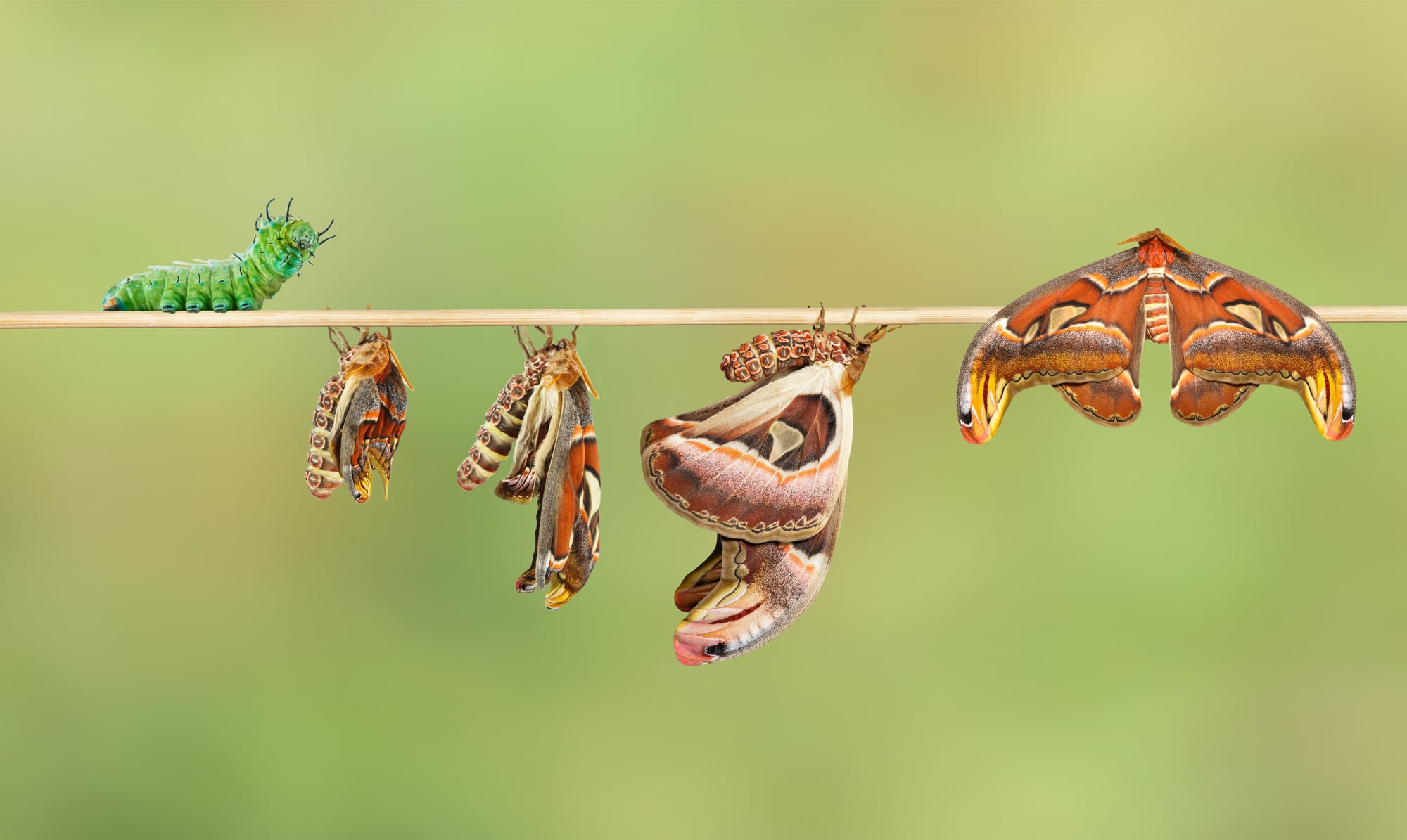 Life cycle of attacus atlas moth