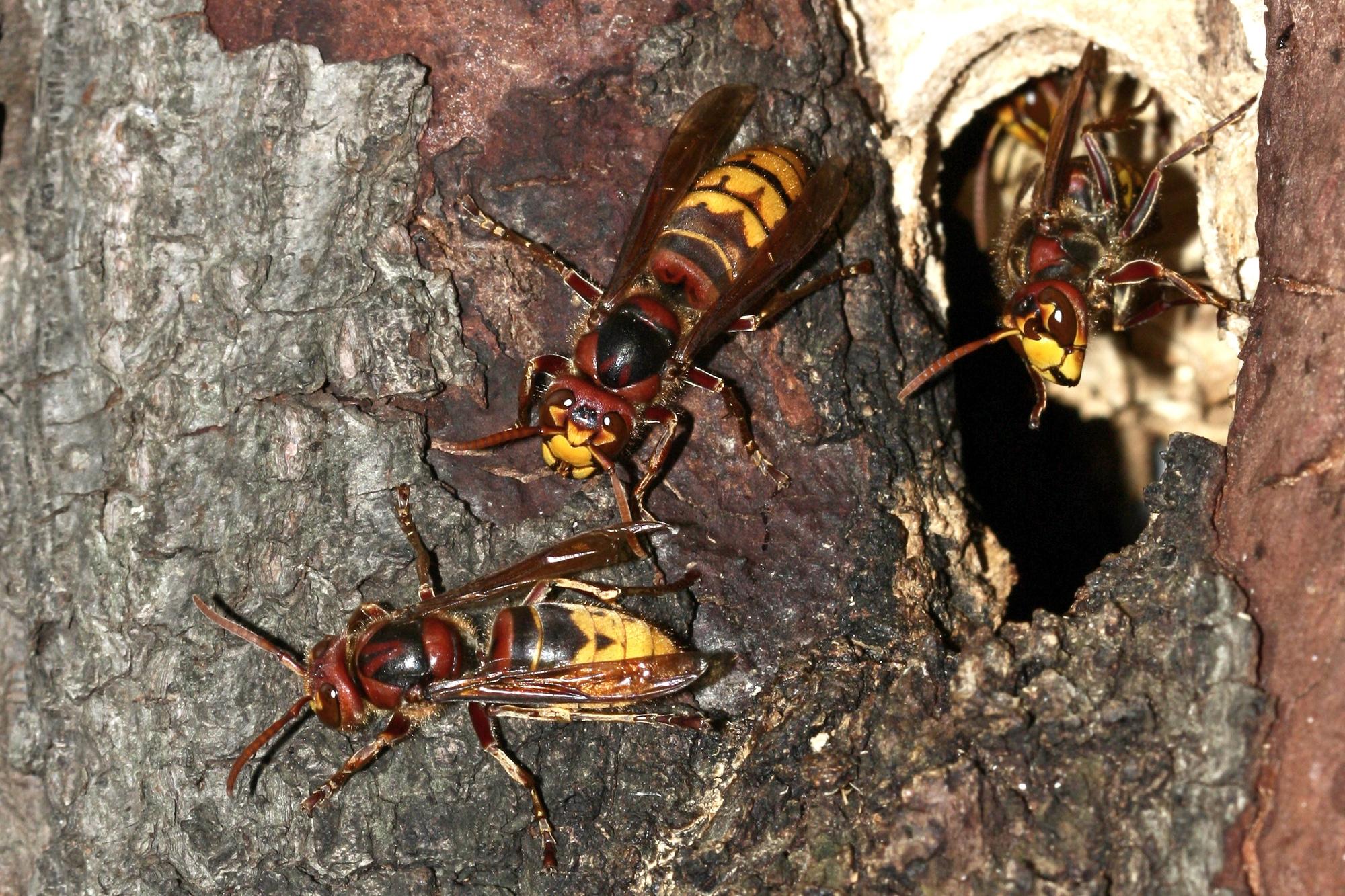 European hornet, vespa crabro nest