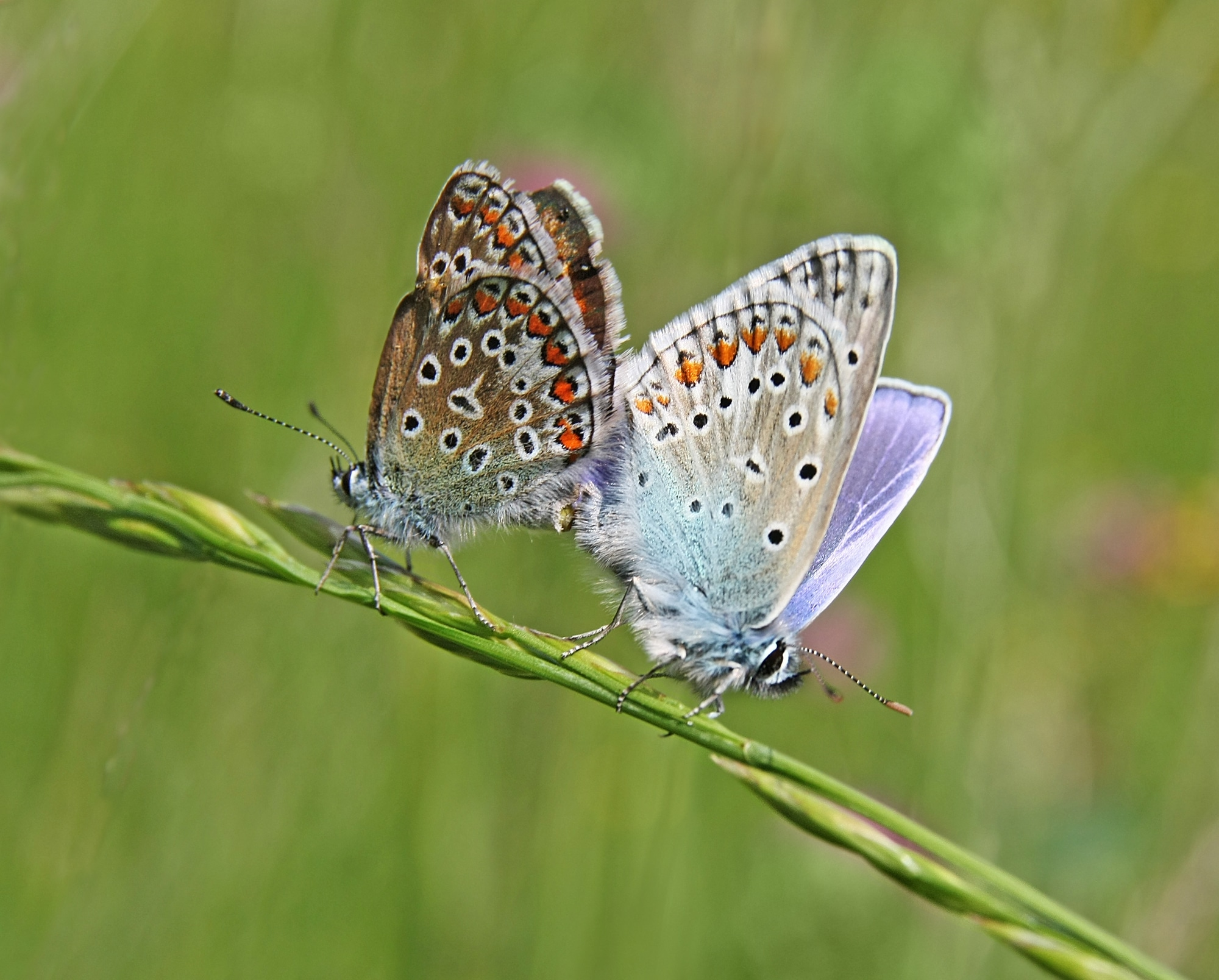 Female and male common blue mating