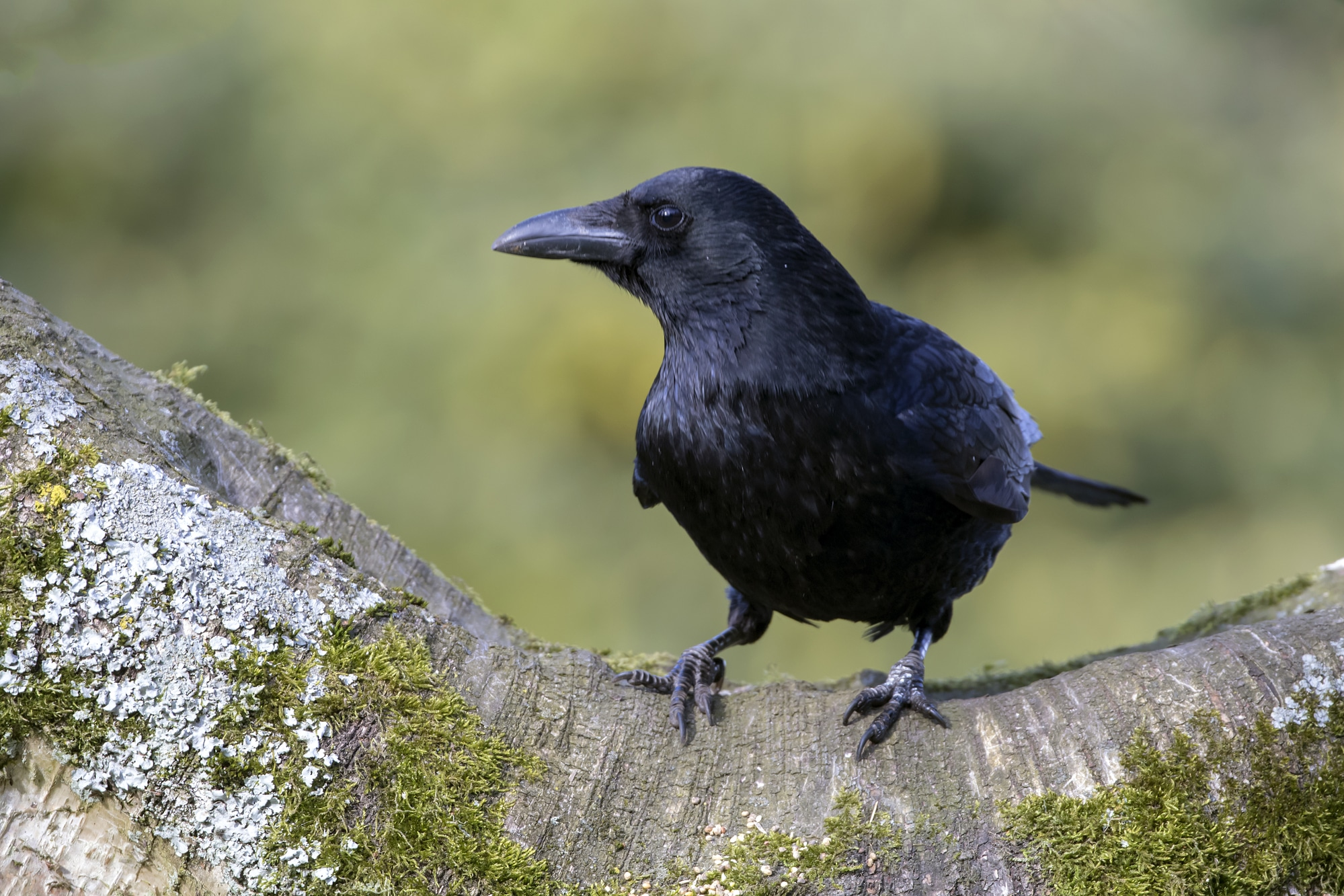 Close-up of Carrion Crow sitting on wide branch