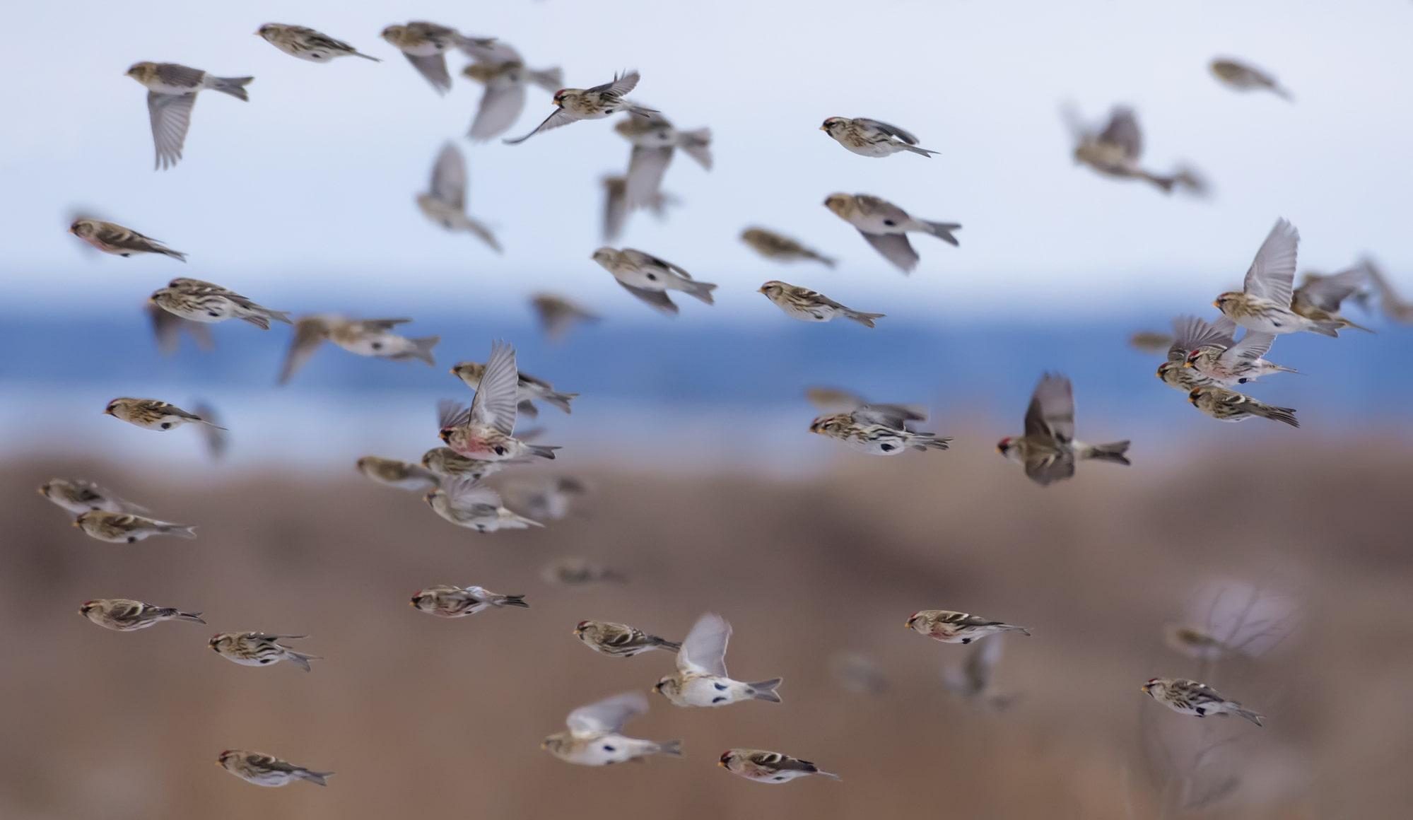 Herd of common redpolls flying fast in snowy winter over fields