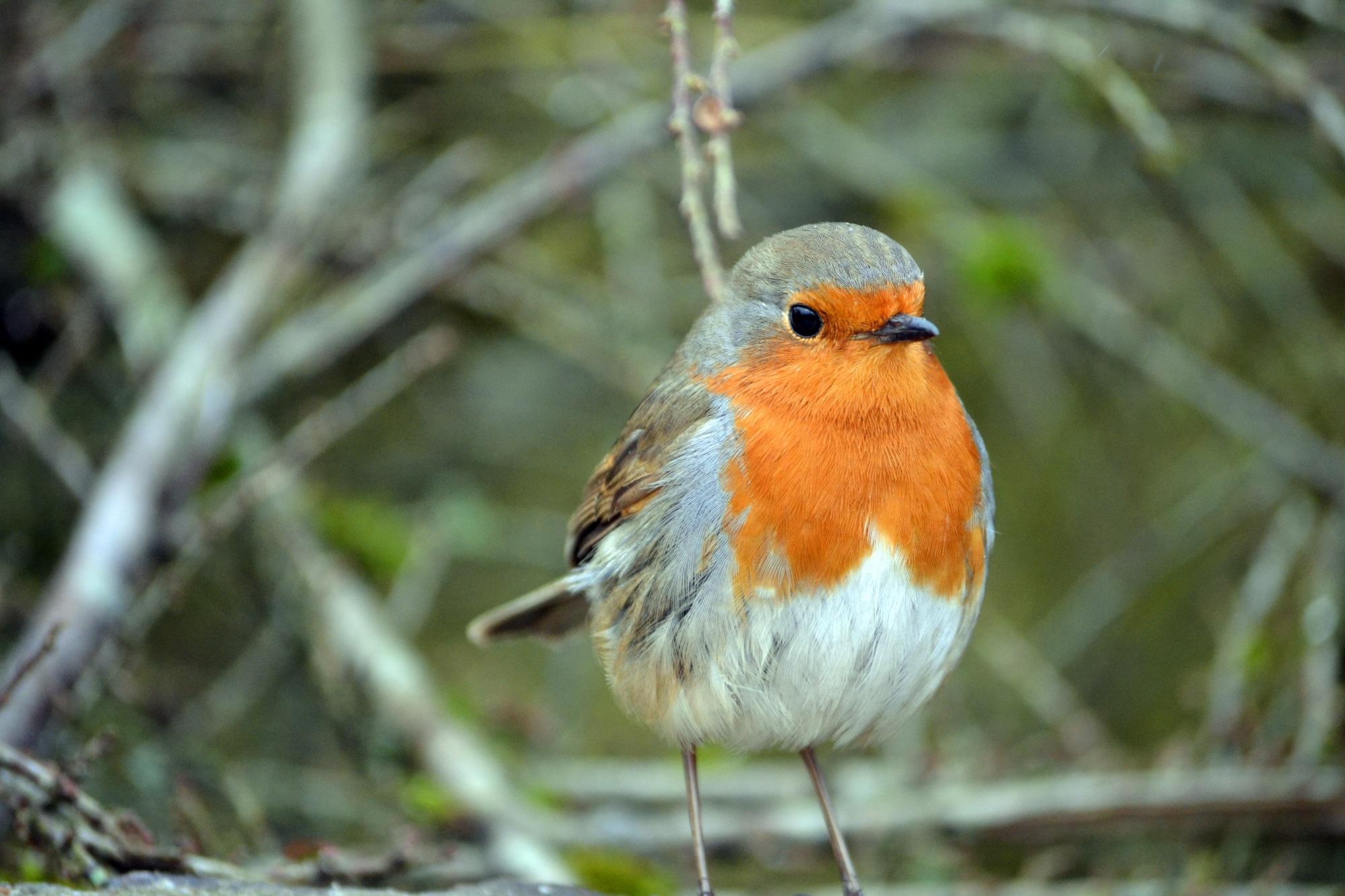 Robin bird is on table