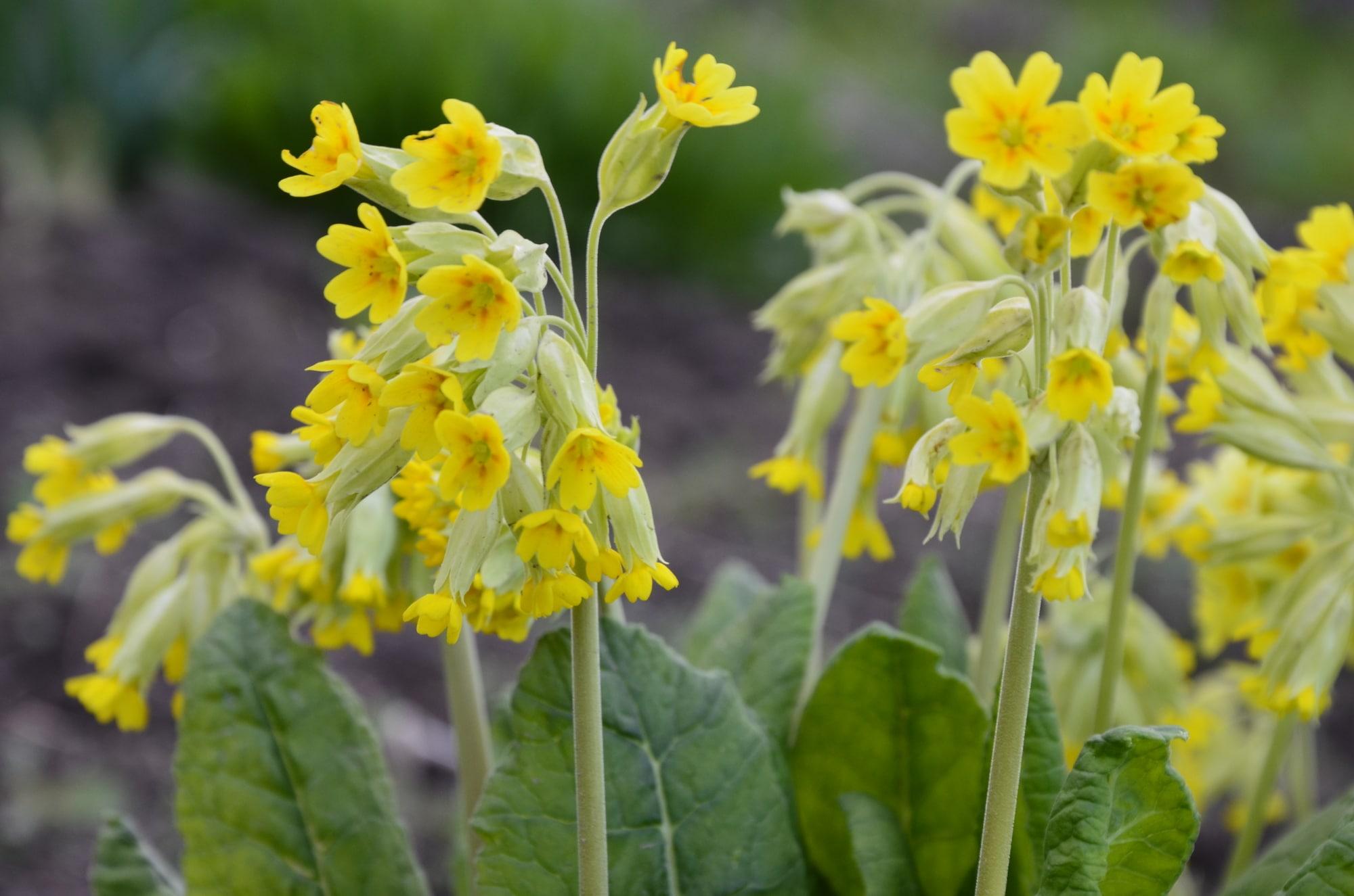 Spring wildflowers - Primula veris