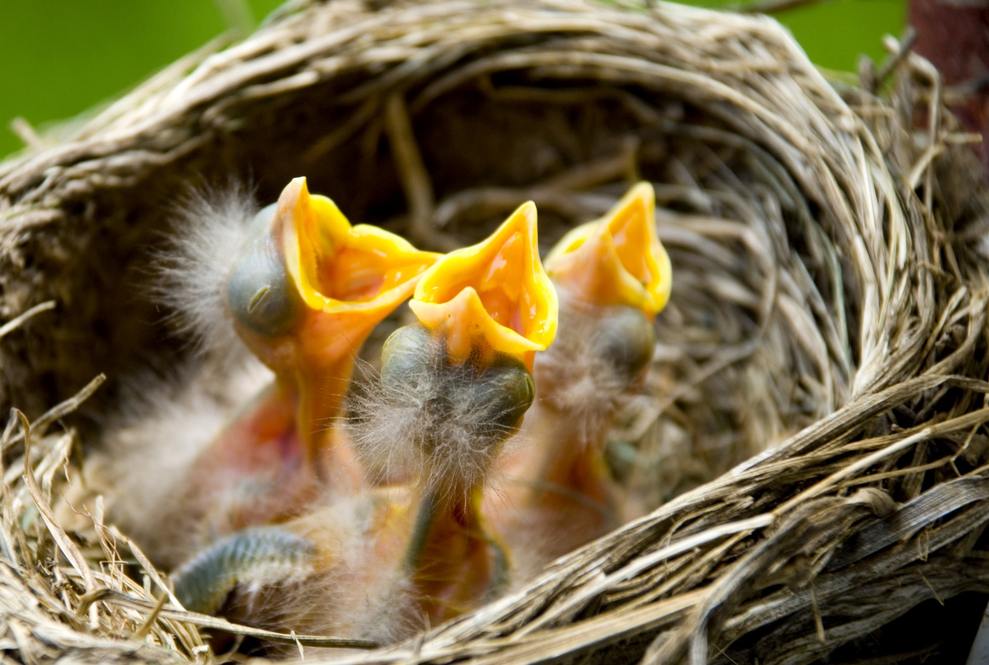 Three baby robins in a nest wanting the mother bird to come and feed them