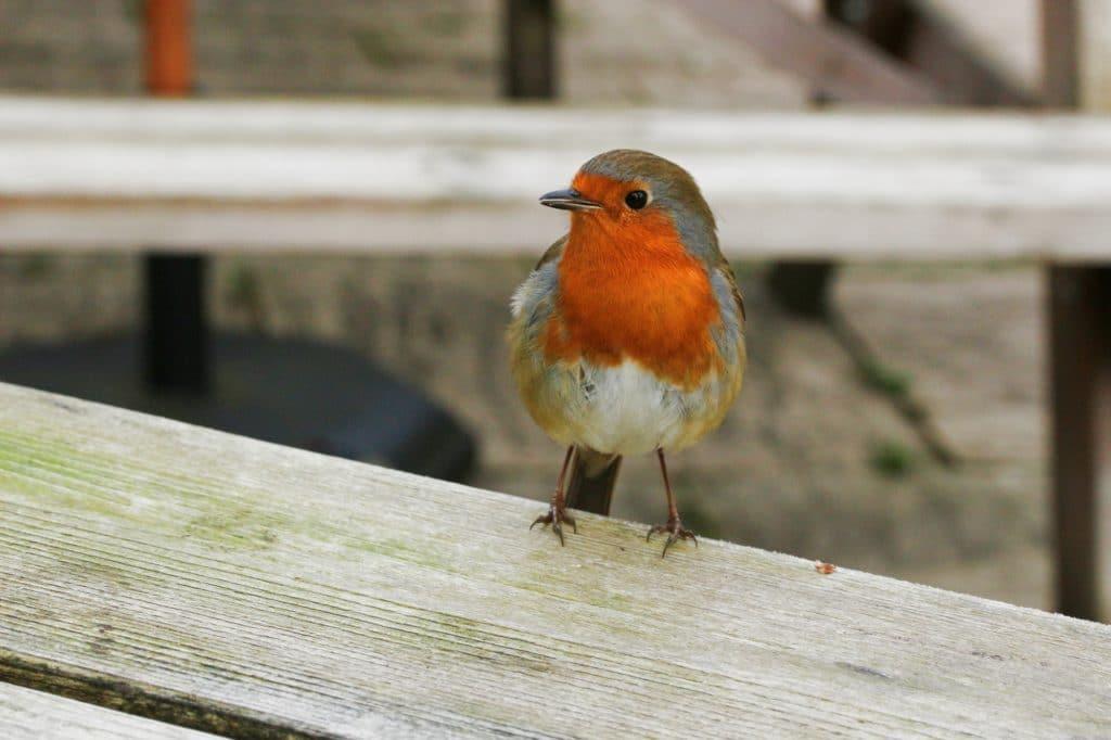 A female robin