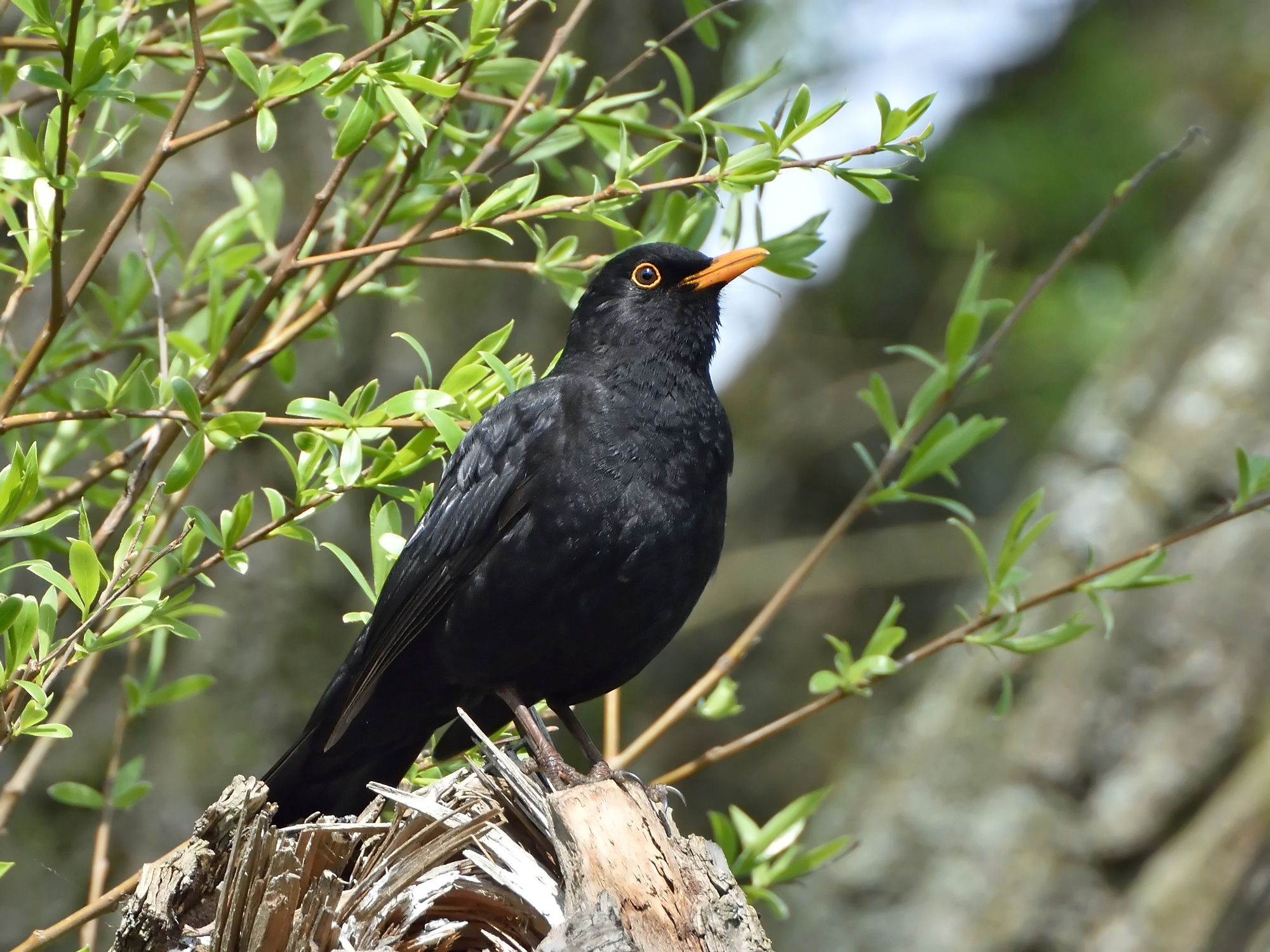 Blackbird resting on a branch in its habitat