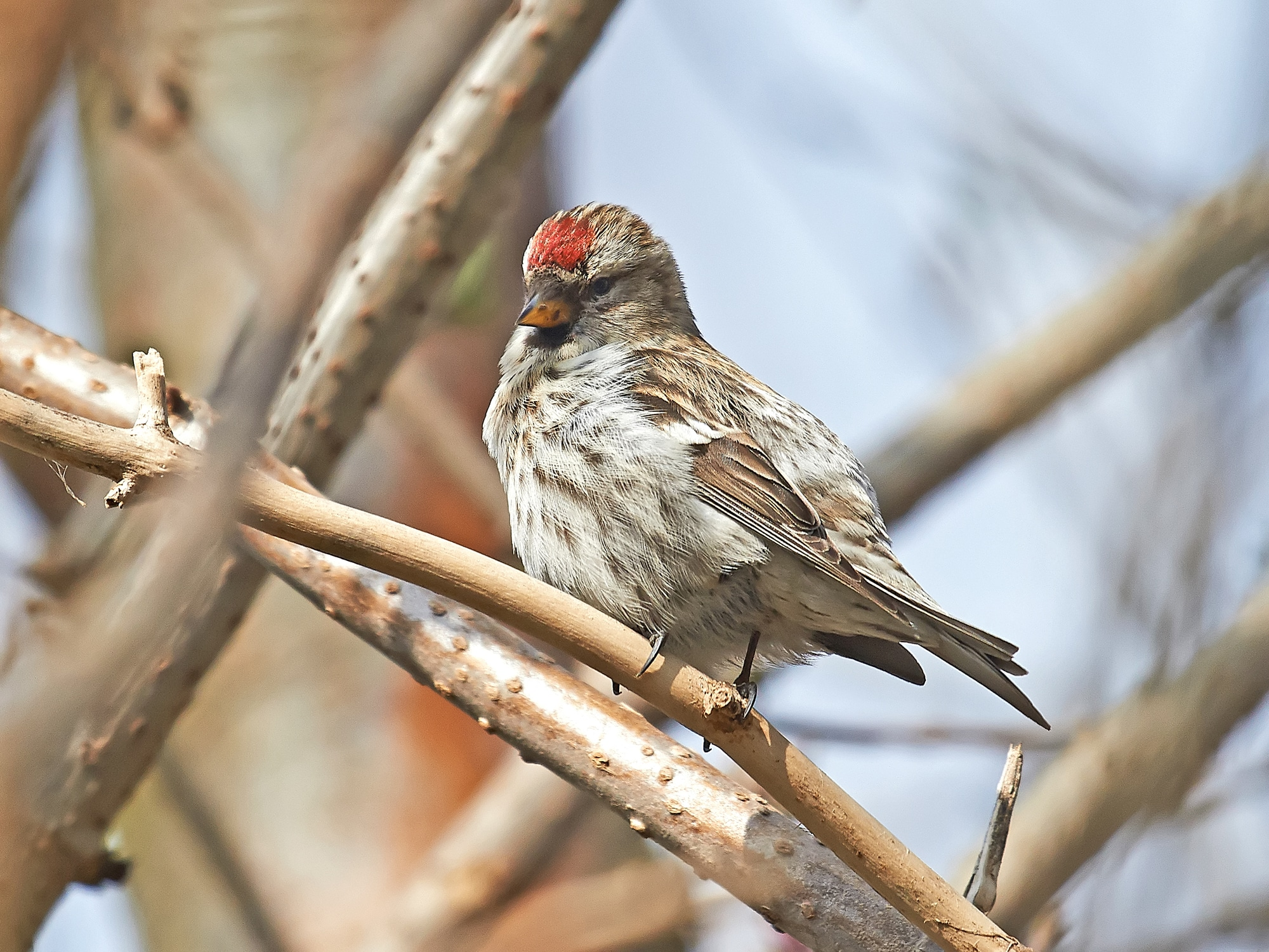 Common Redpoll resting in its natural habitat