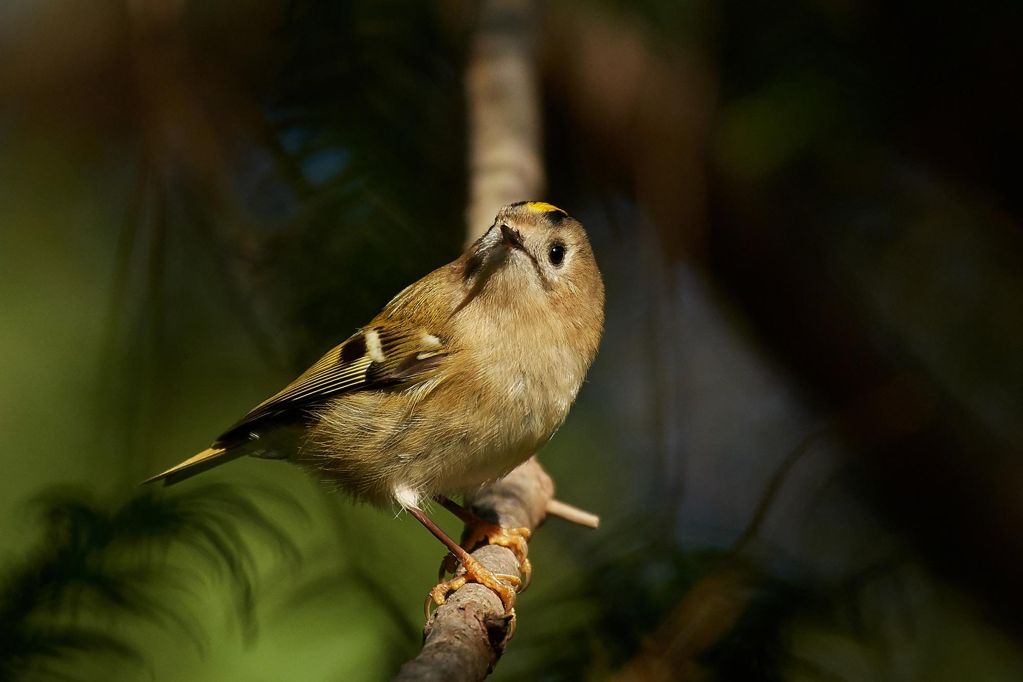 A goldcrest in its UK habitat