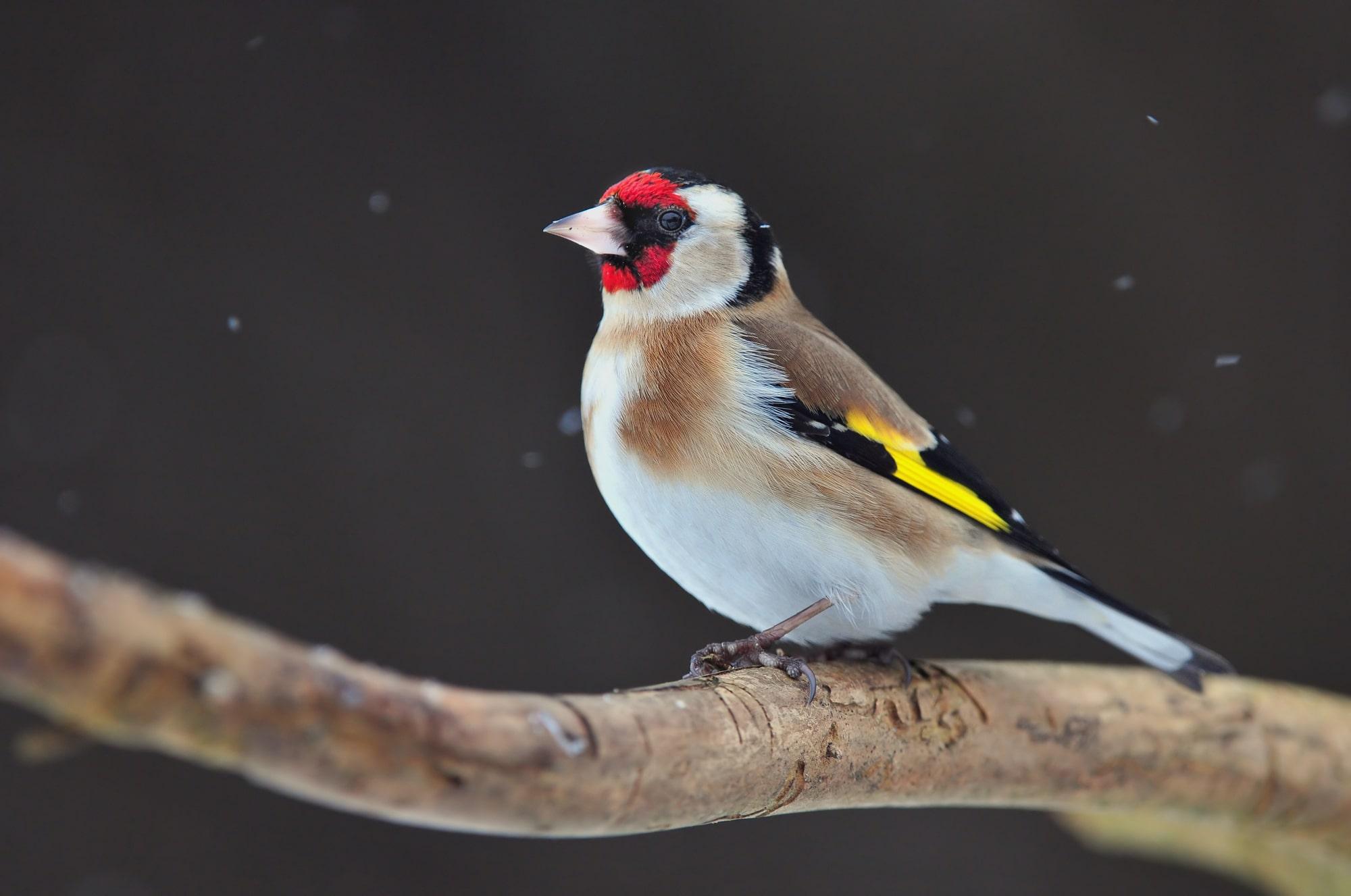 A British goldfinch