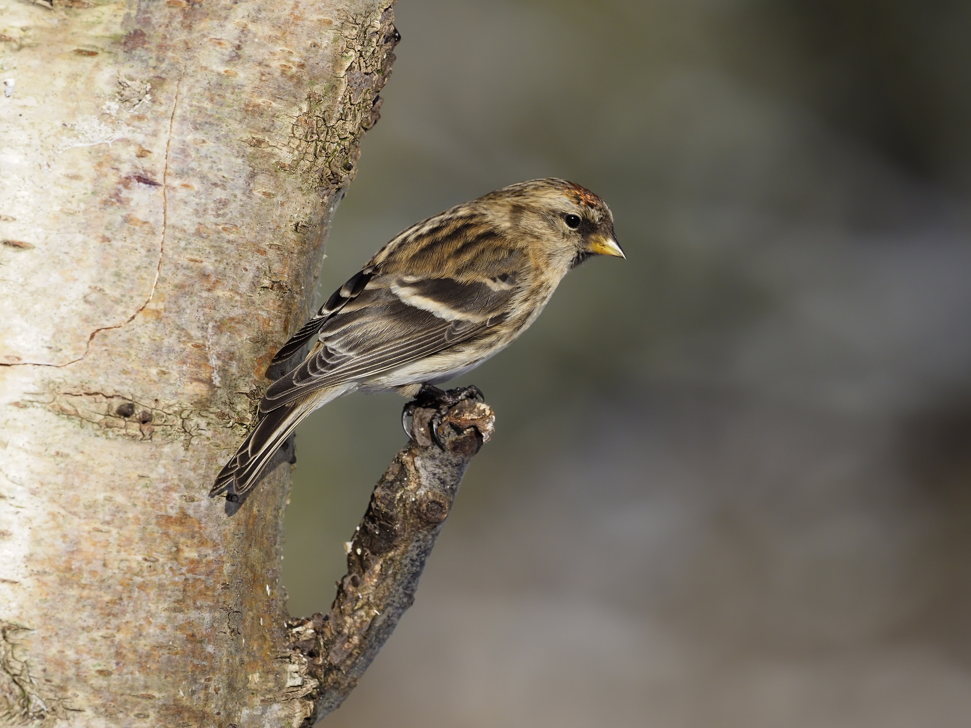 A lesser redpoll rests on a branch