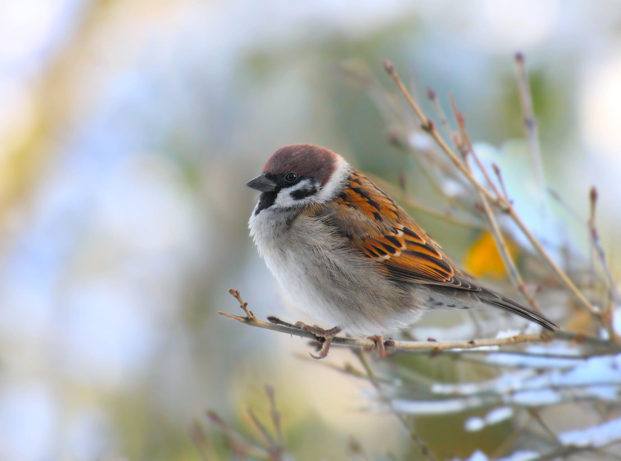 A male house sparrow on a twig