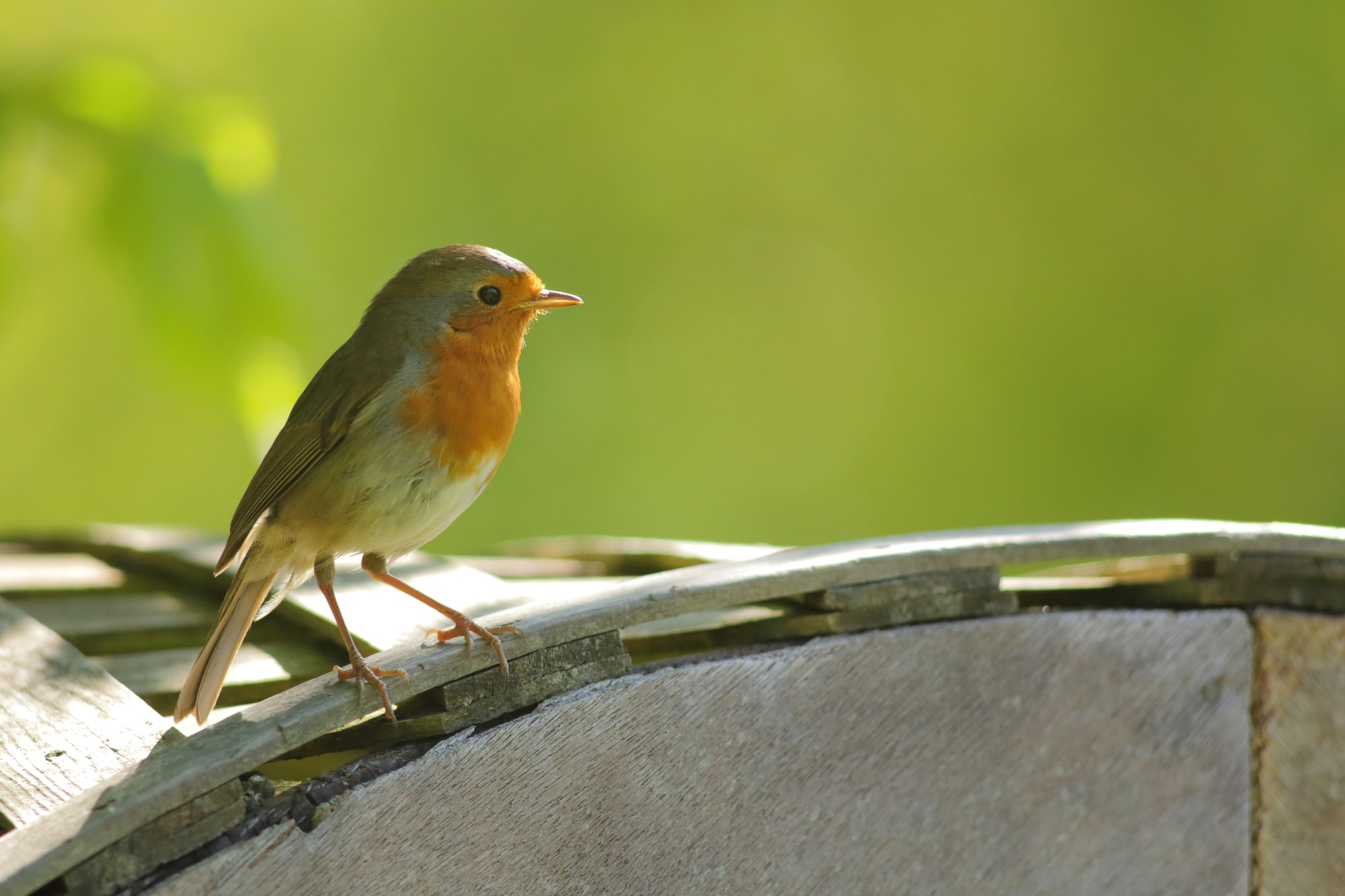 A male robin