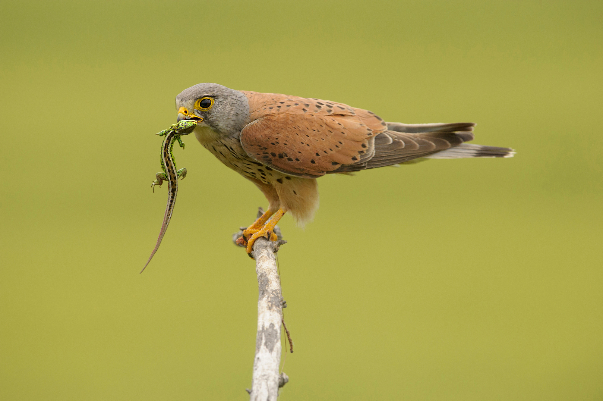 Common kestrel with a lizard in its beak, Hungary, Europe