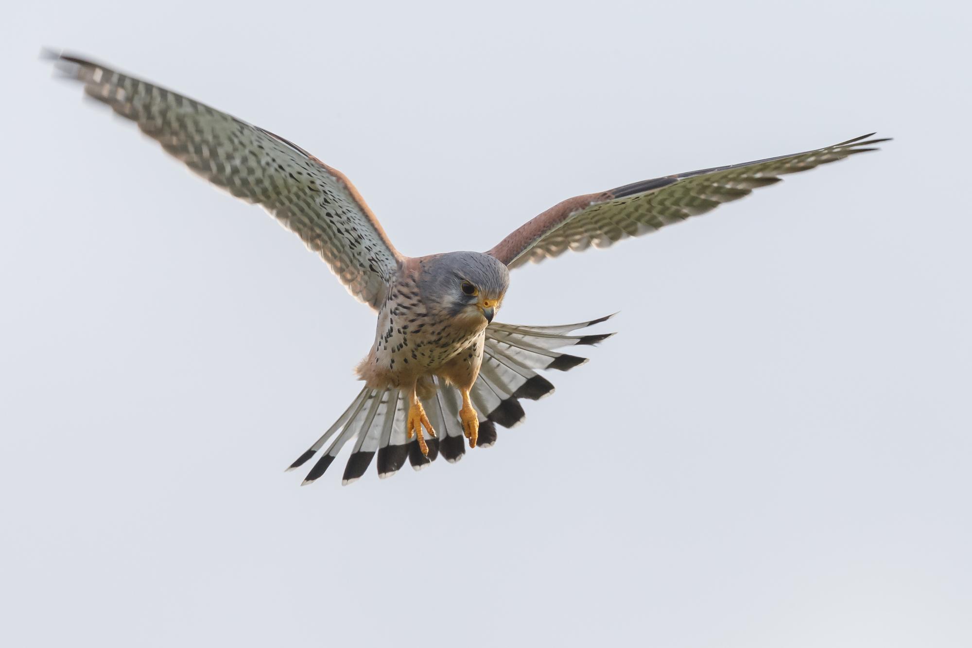 European common Kestrel in flight