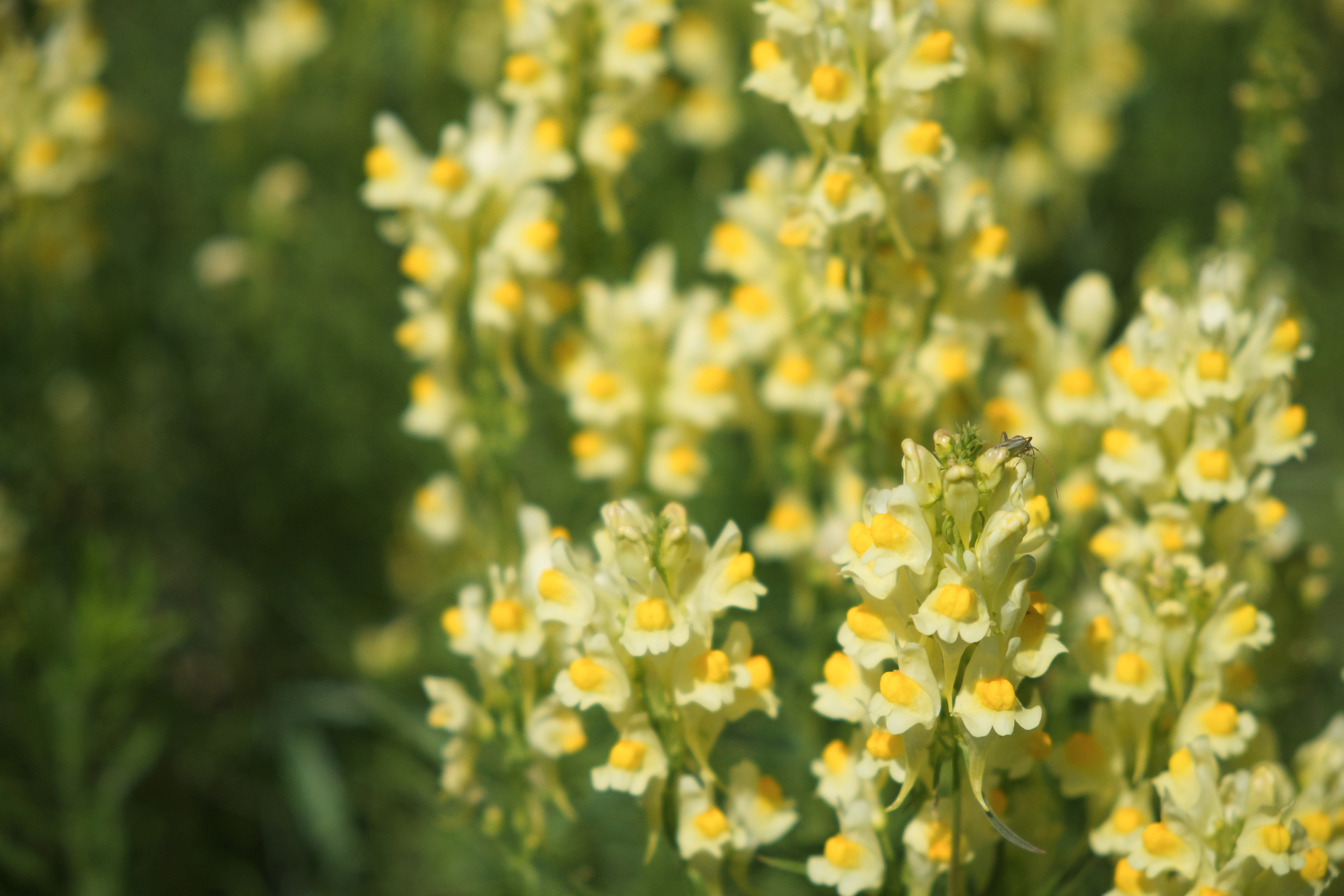 Flaxseed or wild snapdragon (Linaria vulgaris) is a medicinal herb.