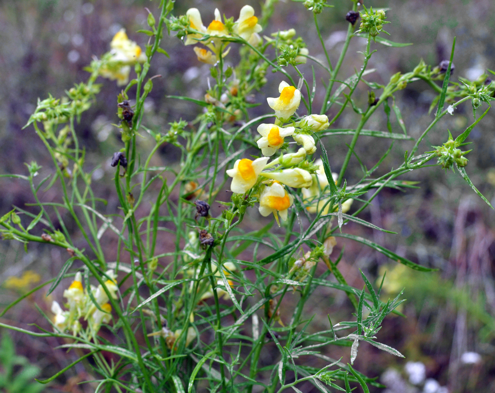Linaria vulgaris blooms in the wild among grasses