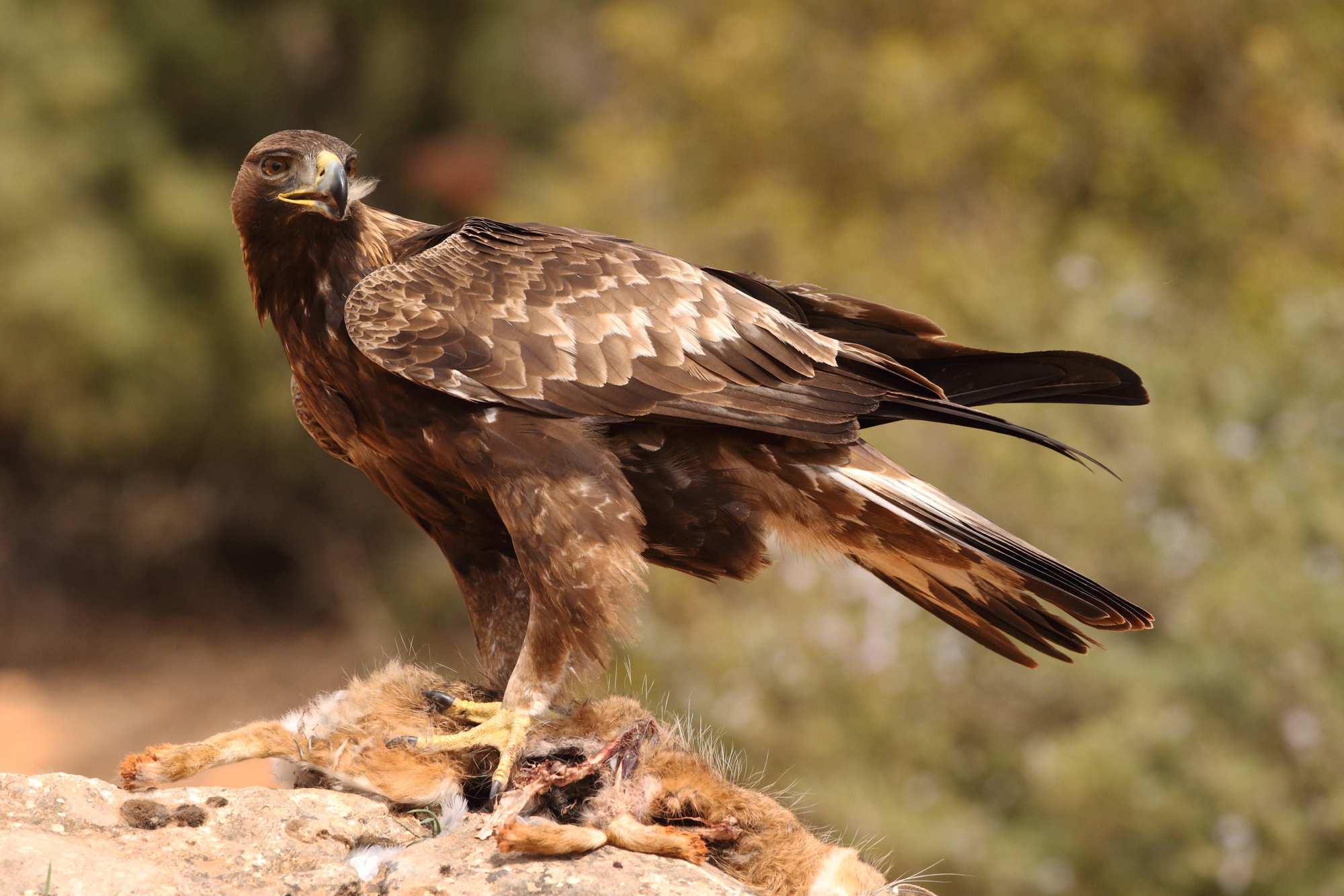 A hawk eating a rodent